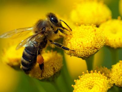 Пчелиная пыльца от аденомы простаты