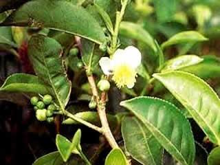 Масло чайного дерева поможет от прыщей на пенисе