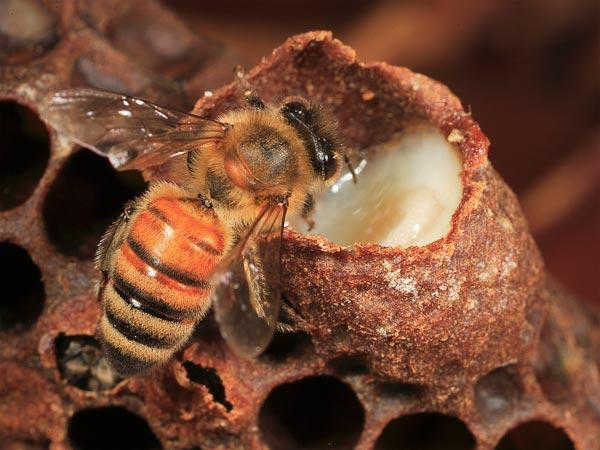Маточник, заполненный пчелиным маточным молочком