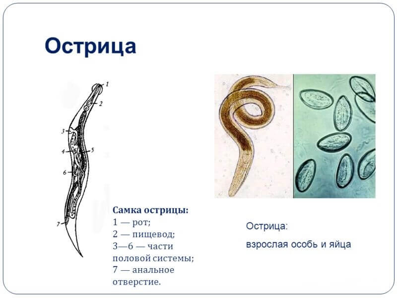 паразиты у взрослых людей