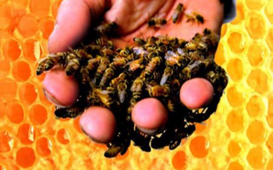 Апитерапия при остеохондрозе или пчелиный яд против боли