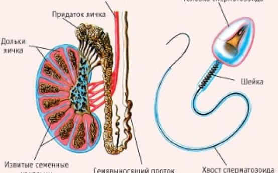Болит правое яичко: причины у мужчин и разновидности болевых ощущений