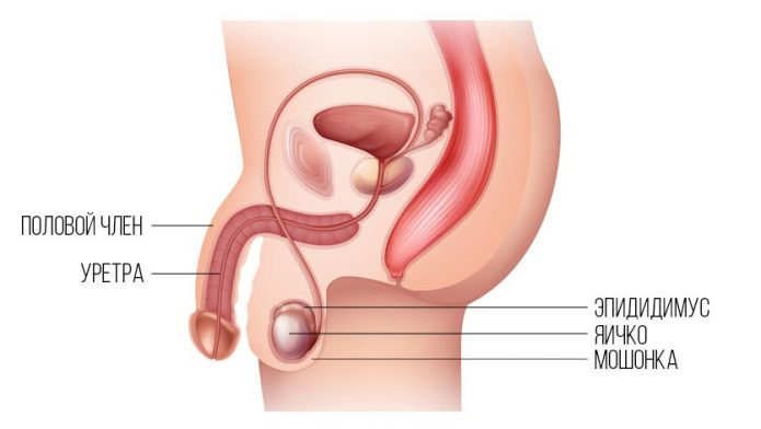 Строение мужских органов