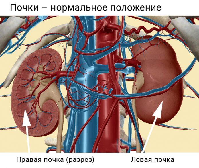 Почки в организме